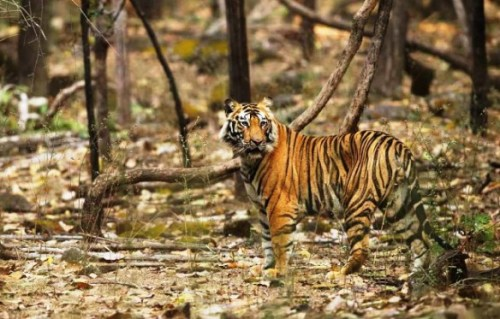 Pushpraj the Bengal Tiger India - by Satyendra Tiwari
